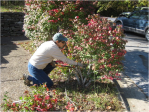 Pam Stewart cutting original landscape plants