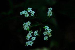 Flowering spurge (Euphorbia corollata) (Photo by Steve Smith)