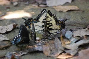 Hikers saw butterflies puddling. (Photo by Steve Smith)