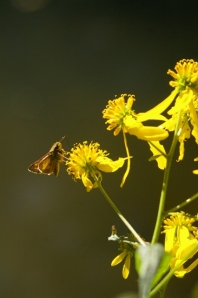 Yellow wingstem with a skipper butterfly (Photo by Ray Erickson)