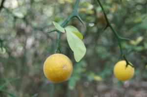 Hardy orange (Poncirus trifoliata) (Photo by Martha Bowden)