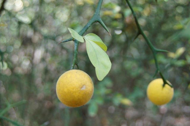 Hardy orange (Poncirus trifoliata) (Photo by Martha Bowden)