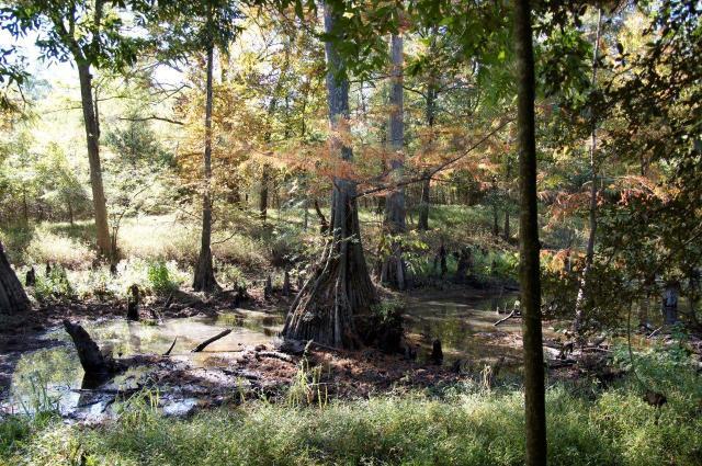A cypress (Taxodium distichum var. distichum) in the White Oak Bayou wetland in Maumelle, Arkansas. (Photo by Martha Bowden)