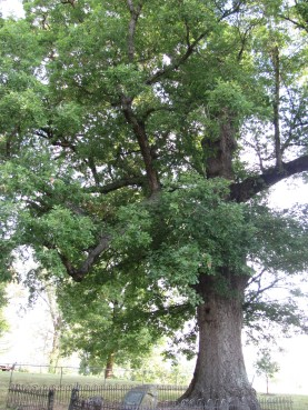 Council Oak, Champion White Oak Quercus alba
