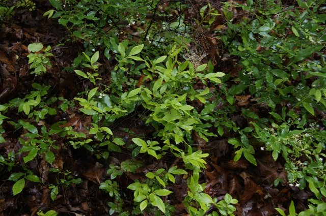 Pale green leaves of black huckleberry mixed with deerberry. Photo courtesy of Martha Bowden