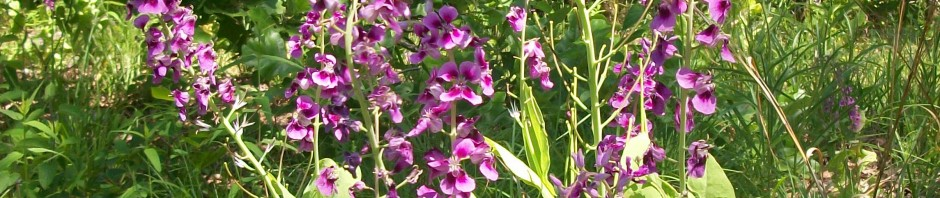 Arkansas twistflower - Streptanthus maculatus - Trap Mountain