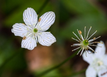 Large-leaf grass-of-Parnassus (Parnassia grandifolia) is not a grass at all, but a beautiful flowering plant (and also the title of a book of poetry by Andrew Lang). The flowers have five white petals with striking green venation.