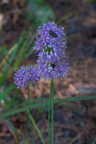 A nodding wild onion (Allium cernuum) in beautiful full bloom.