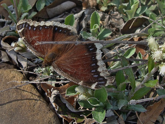 Nectar source for an over-wintering mourning cloak.
