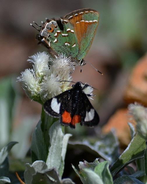 Nectar source for juniper hairstreak and grapevine epimenis.