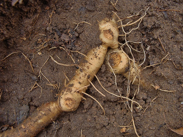 Photo 4 – Branched rhizome showing stem scars