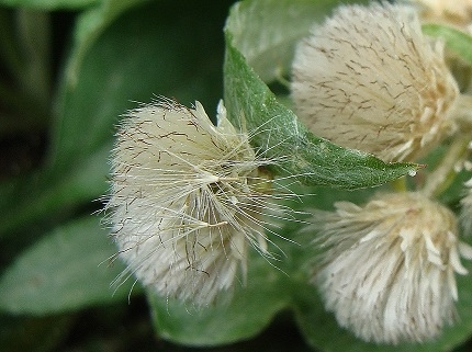 Achenes poised to disperse. Also looks like a cat's paw?