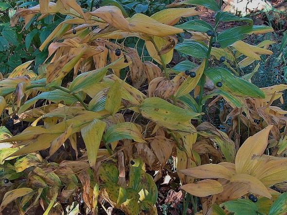 Photo 6 – Mature berries and fall foliage