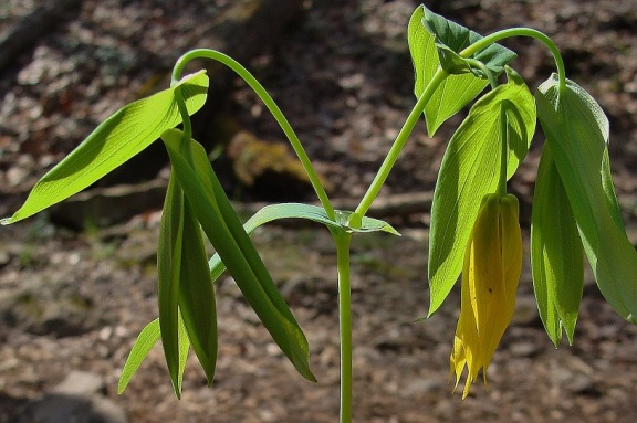 Photo 7 – Branched stem of a mature large-flowered bellwort (Uvularia grandiflora) in bloom.