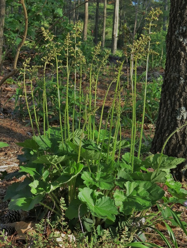 Photo 3 – In garden habitat in spring; a significantly larger plant with many stems.