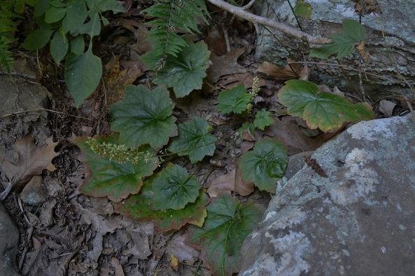 Photo 5 – Arkansas alumroot, blooming in fall, has tight flower clusters on short stems.
