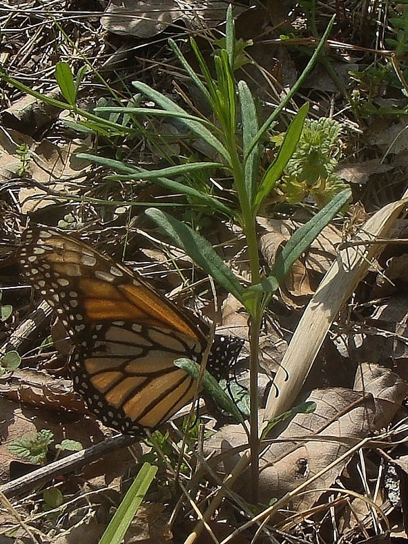 Photo 1:  A travel-worn Monarch laying an egg on whorled milkweed (Asclepias verticillata)