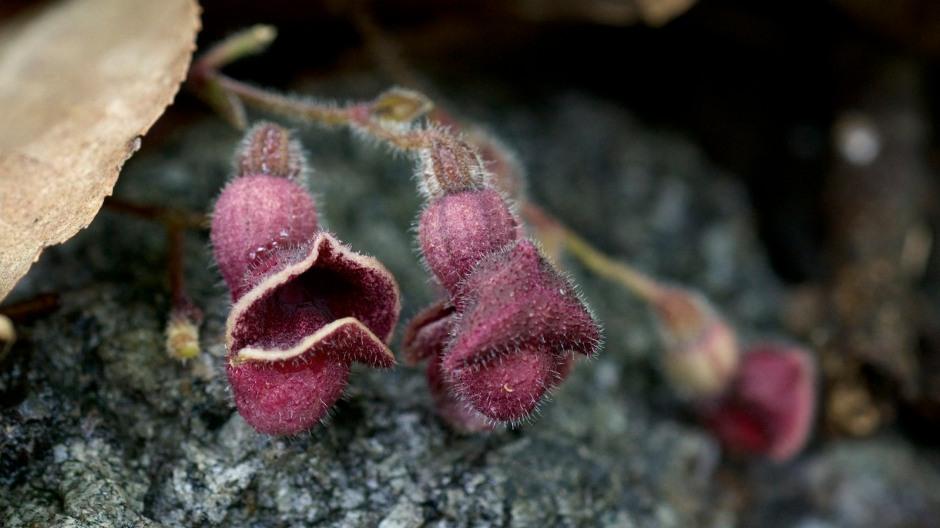 Texas Dutchman's Pipe - Aristolochia reticulata