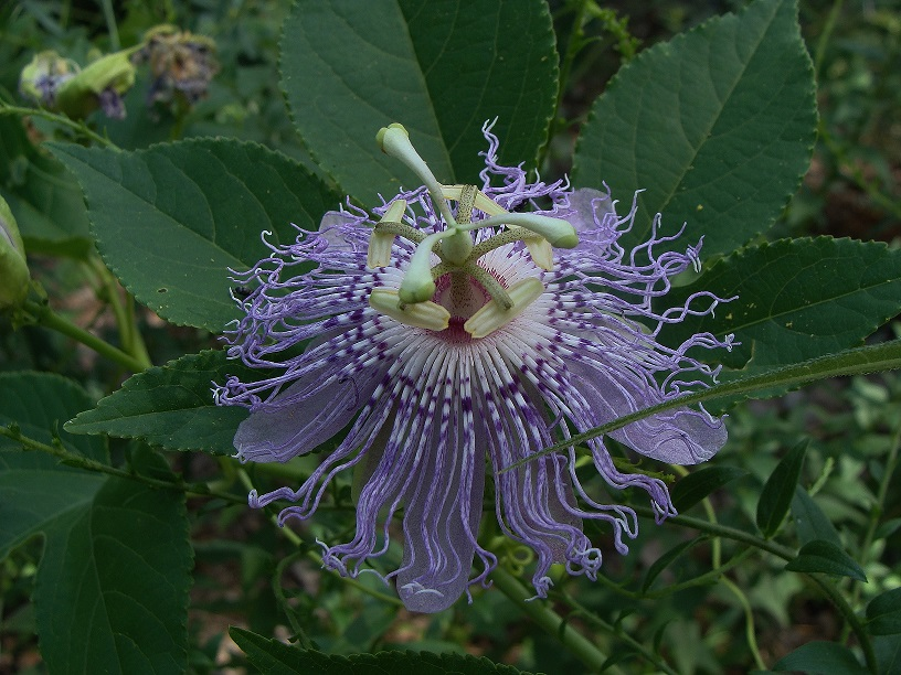 Know your natives purple passionflower arkansas native plant society a fresh flower with typical coloration flowers may be more white or more purple mightylinksfo