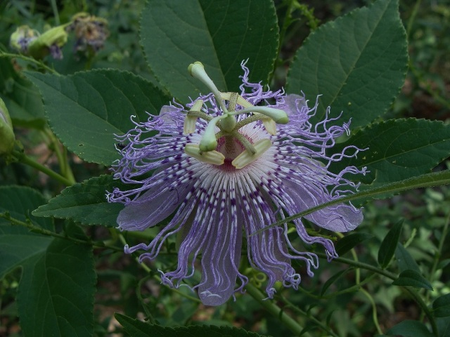 A fresh flower with typical coloration.  Flowers may be more white or more purple.  Ovary immediately below three styles.