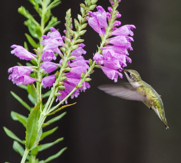RT Hummingbird (female) on Obedient Plant