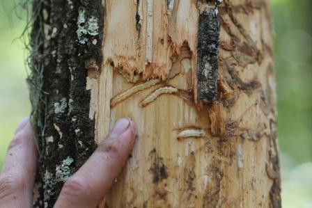 EAB larvae and damage to an ash tree in Ouachita County, AR. Arkansas State Plant Board.