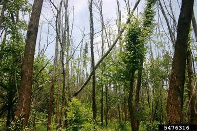 : Ash trees dead or dying from EAB infestation in Virginia.  Christopher Asaro, Virginia Department of Forestry, Bugwood.org.