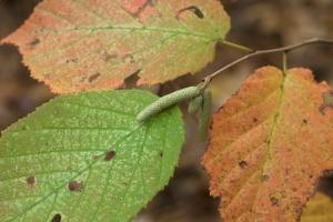 American Hazelnut - Corylus americana