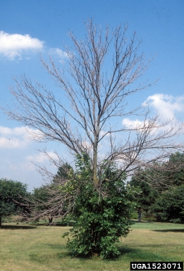 Ash tree infested with EAB.  Note top-killed tree and prolific, basal sprouting.  Daniel Herms, The Ohio State University, Bugwood.org.
