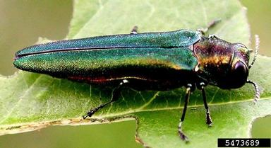 Adult EAB.  Leah Bauer, USDA Forest Service Northern Research Station, Bugwood.org.