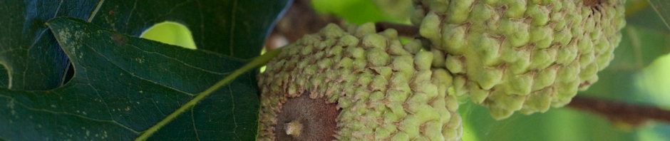 Overcup Oak - Quercus lyrata