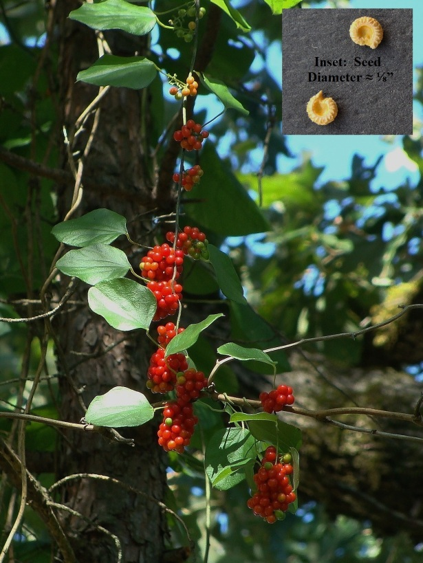 Ripening clusters of Carolina moonseed on a vine dangling within a small pine.  Inset photo shows seed.