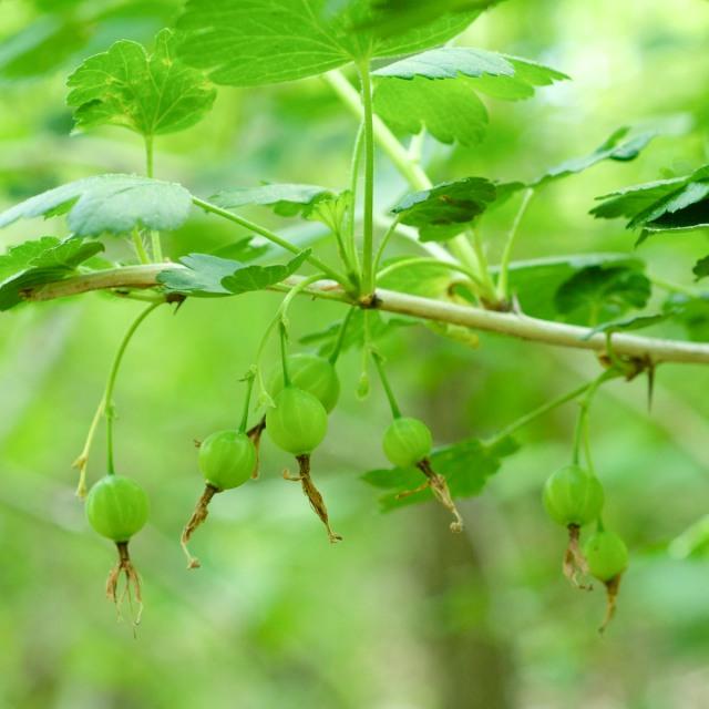 Missouri Gooseberry - Ribes missouriense