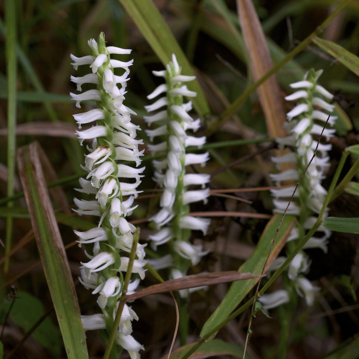 Fragrant ladies\u0027,tresses orchid , Spiranthes odorata