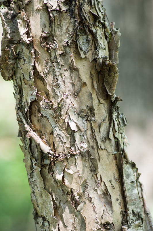 Bark of Mexican plum. Photo by Mike Weatherford
