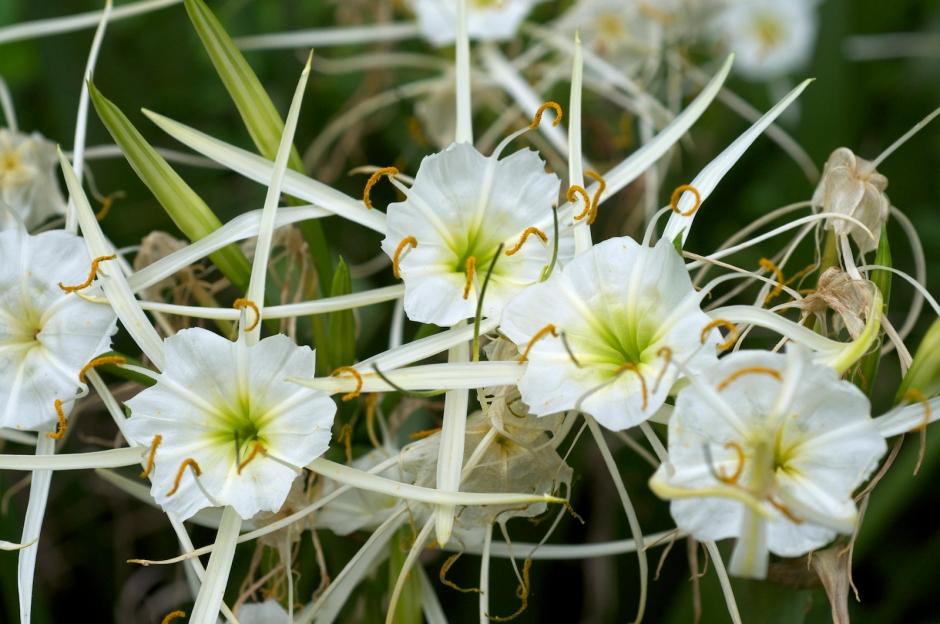 Hymenocallis liriosme - Spring Spider Lily