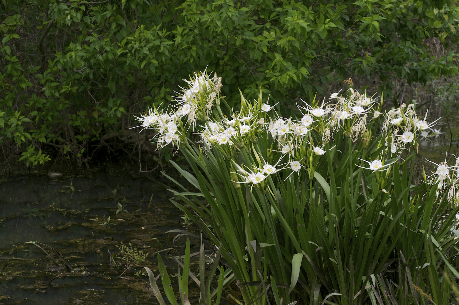 Know Your Natives – Spring Spider-Lily | Arkansas Native Plant ... Green Garden Spider