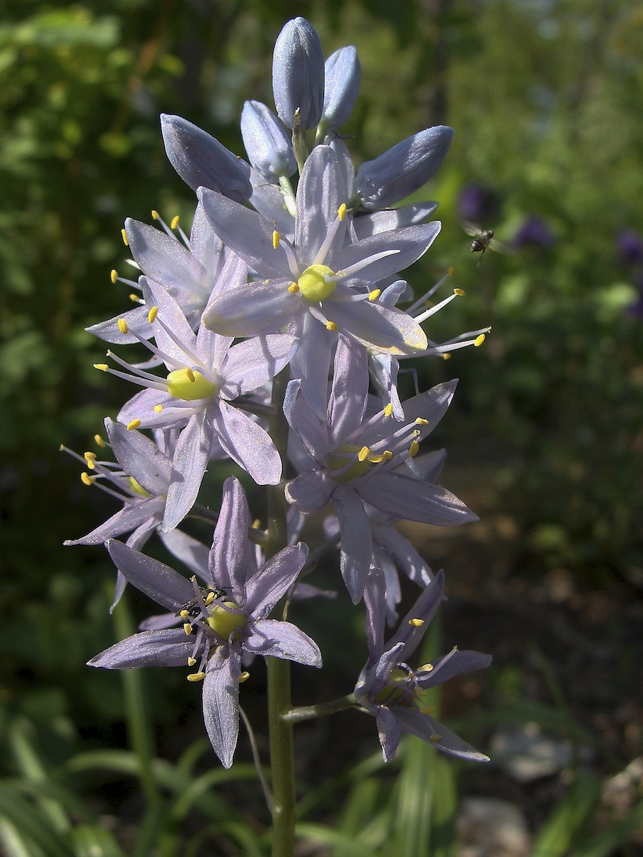 Know Your Natives – Wild Hyacinth | Arkansas Native Plant ...
