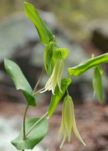 Uvularia perfoliata photographed on the Ouachita National Trail in Perry County, Arkansas