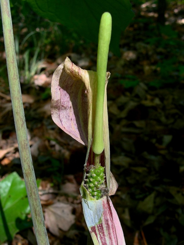 Jack-in-the-Pulpit - Arisaema triphyllum