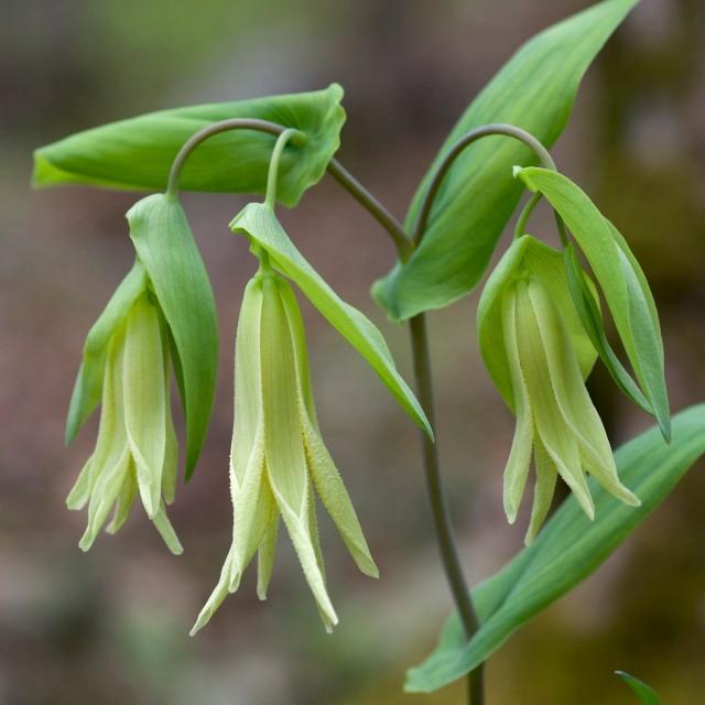 Perfoliate bellwort - Uvularia perfoliata