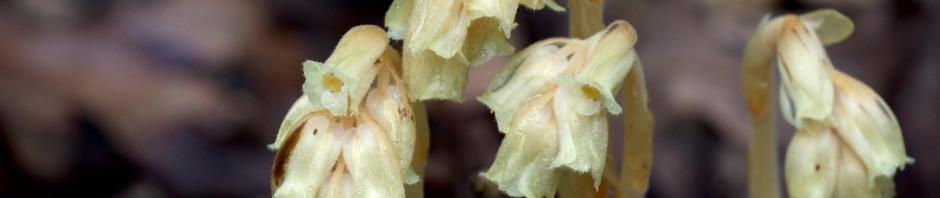 Pinesap - Monotropa hypopitys