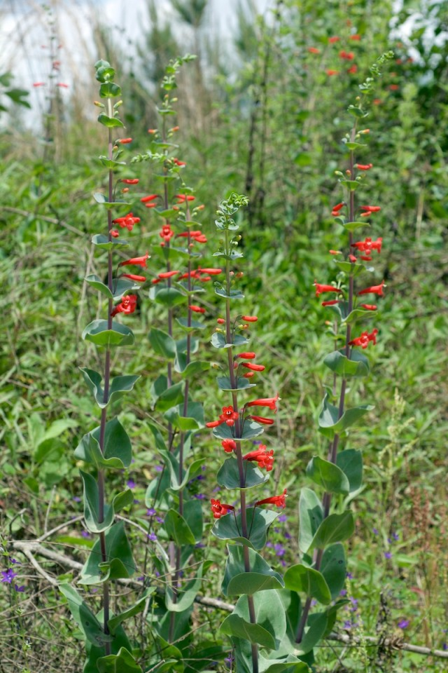 Scarlet Beardtongue - Penstemon murrayanus
