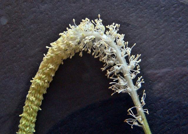 Lizard's Tail - Saururus cernuus