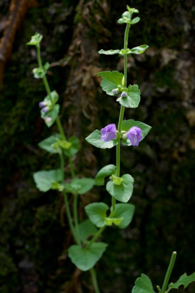 Heart-leaf skullcap - Scutellaria cardiophylla