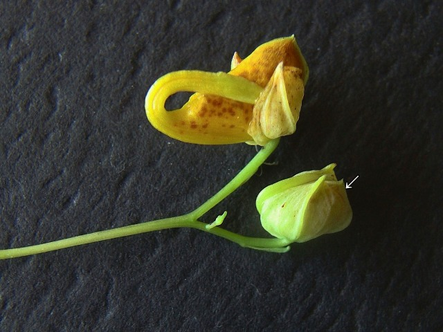 Jewel Weed - Impatiens capensis