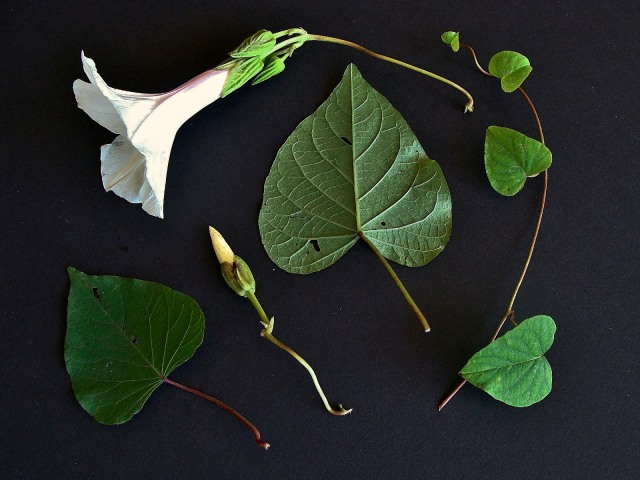 Wild Potato Vine - Ipomoea pandurata