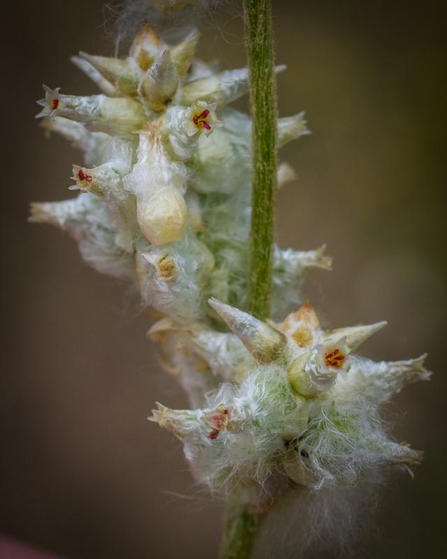 Cottonweed - Floelichia floridana