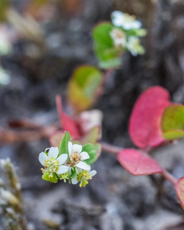 Pink Wild Bean - Strophostyles umbellata
