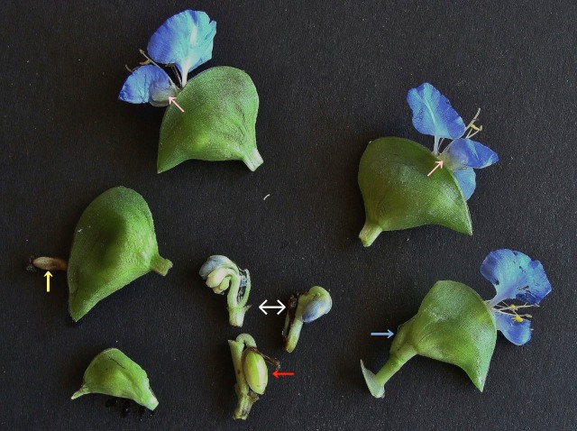 Virginia dayflower - Commelina virginica